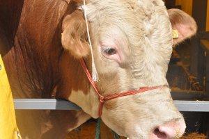 Beykoz'da canlı kurbanlık hayvanın kilosu 14 Lira!