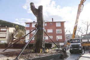 600 yıllık Anadolukavağı çınarı ayağa kaldırıldı