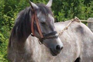 Karantina'ya takılan atlar Beykoz'a getirildi