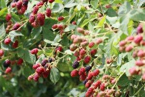 Beykoz bahçelerinde meyveler renga renk