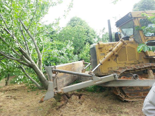 Görele Mahallesi'nde ağaç katliamı