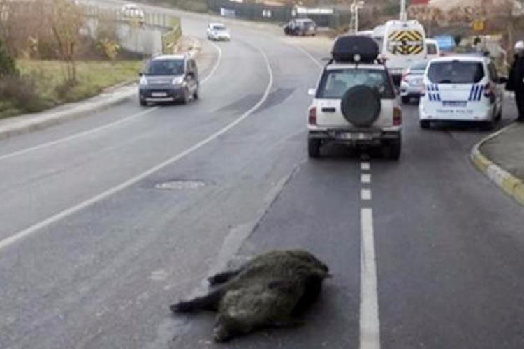 Beykoz'da domuza otomobil çarptı
