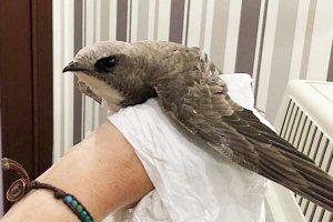 Beykoz'da Ebabil Kuşu bulundu
