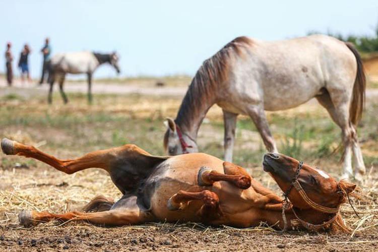 Beykoz'da ölüme terk edilen atlar gidiyor