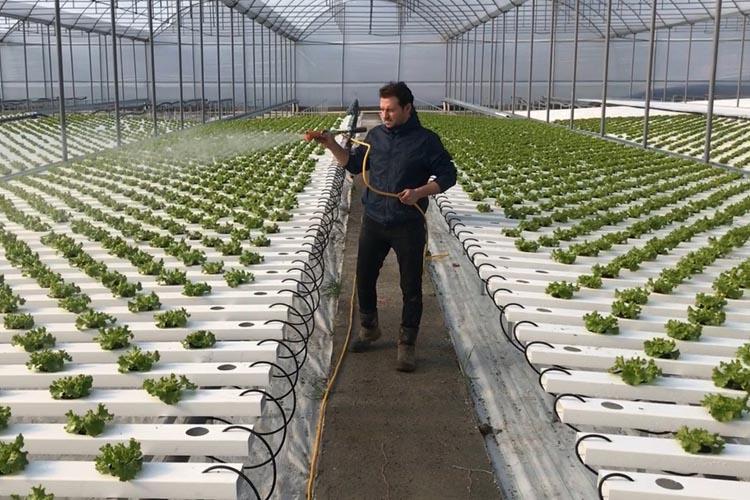 Beykoz'da topraksız kıvırcık üretimi yapılıyor