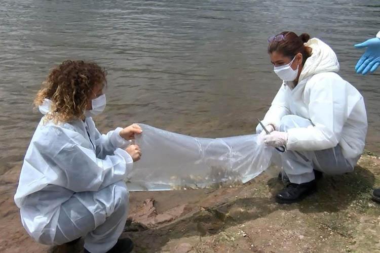 Beykoz'da göletlere 5 bin yavru sazan bırakıldı