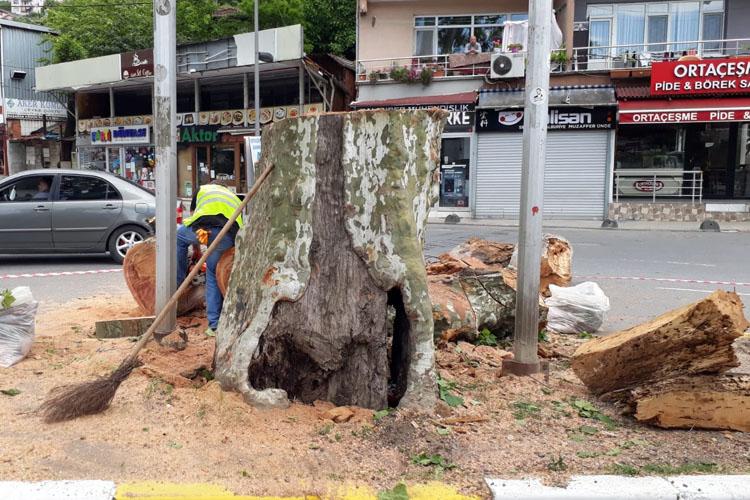 Beykoz'un riskli 22 anıt ağacı filizlenmeyi bekliyor
