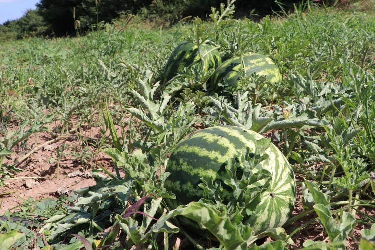 Beykoz Karpuzunda hasat dönemi başladı