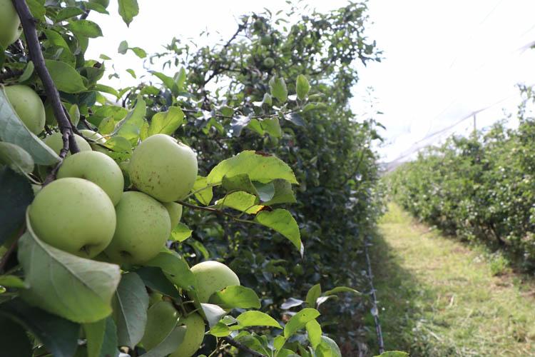 Beykoz Elması'nda hasat zamanı başladı