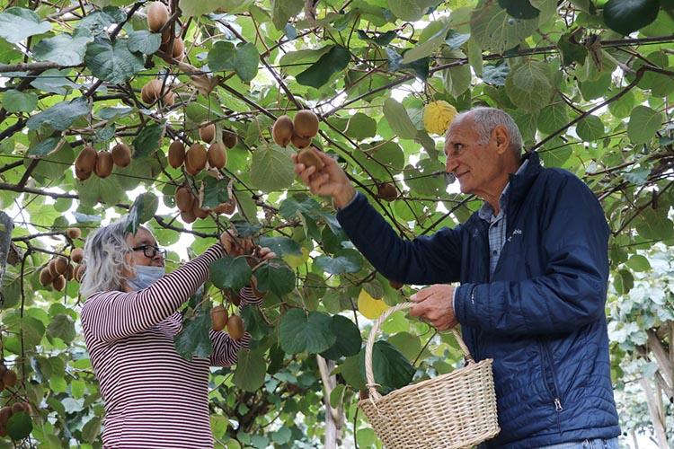 Beykoz'un kendisi küçük şifası büyük meyvesi