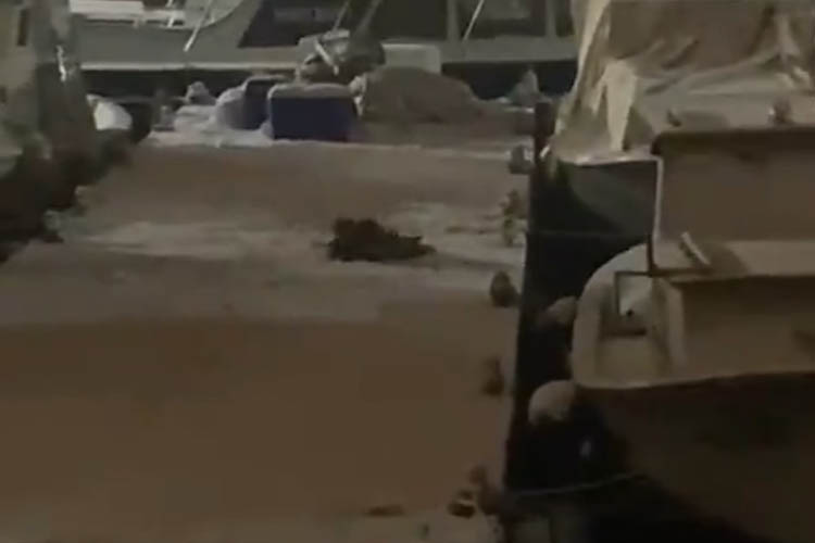 Nesli tükenen su samurları Beykoz'da görüntülendi