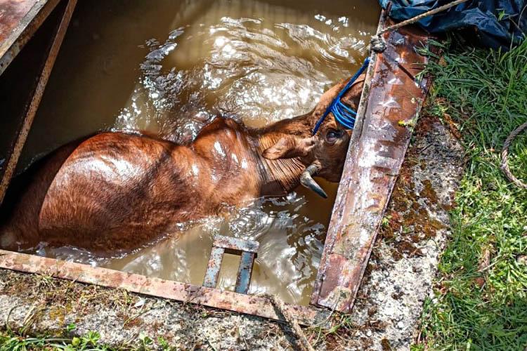 Beykoz'da kuyuya düşen inek kurtarıldı