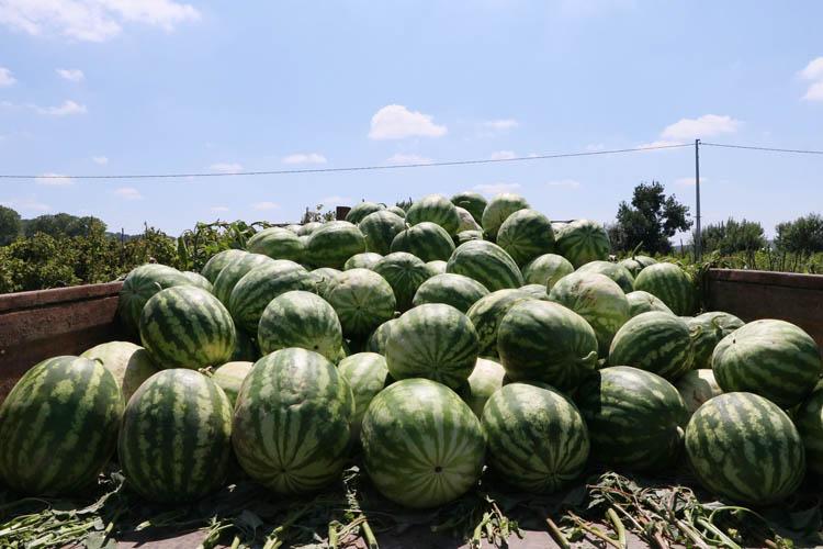 Beykoz Karpuzu'nda 2021 hasadı başladı
